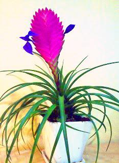 Vir gz n v ny szirom - Pfeffer zimmerpflanze ...